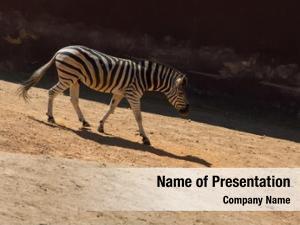 Savanna zebra walking