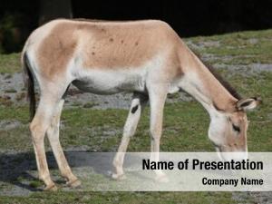 (equus turkmenian kulan hemionus kulan),