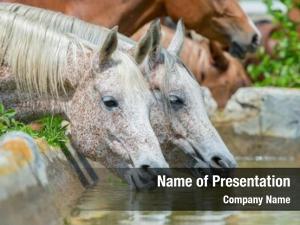 Water horses drinking outdoor, arabian
