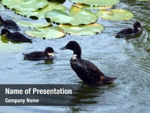 Pond duck ducklings