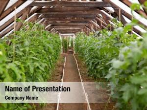 Farming vegetable, gardening concept tomato