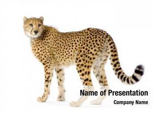Cheetah studio shots standing front