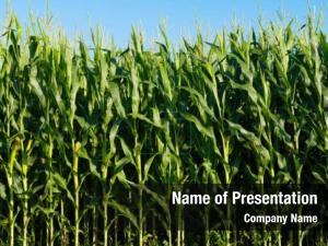 Corn corn growing field