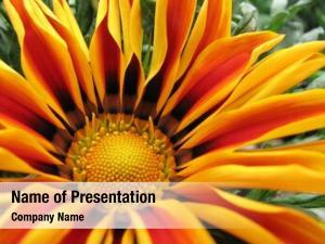 Garden orange daisy