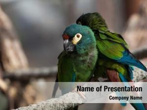 (primolius blue winged macaw maracana), also
