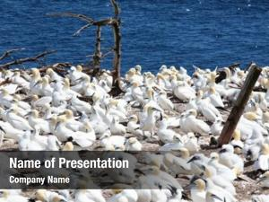 (morus northern gannet bassanus) breeding
