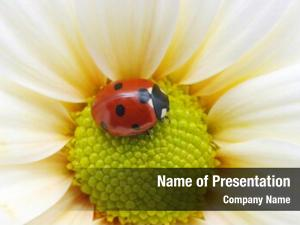 Aka lady bug coccinellidae