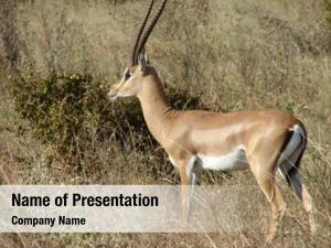 Savanna antelope impala