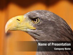 (haliaeetus white tailed eagle albicilla), also