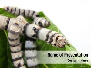 Breeding silkworm larvae