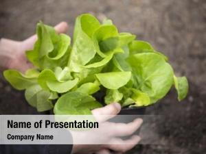 Lettuce planting young seedling vegetable