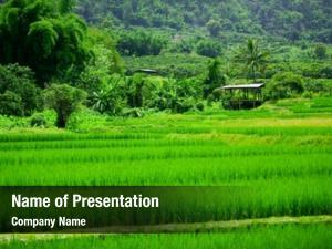 Paddies field rice tropical paradise