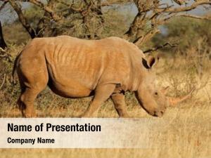 (ceratotherium white rhinoceros simum) grazing