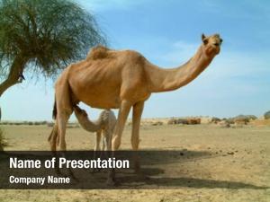 Feeding baby camel mother camel