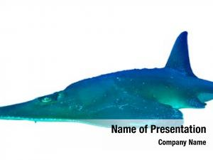 (shovelnose giant guitarfish ray) white