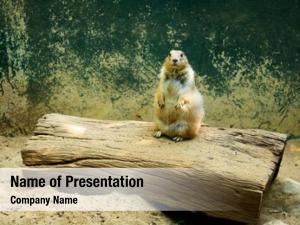 Zoo prairie dog