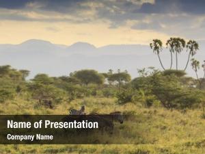African zebra east savannah landscape