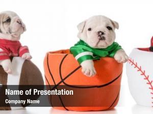 Bulldog sports hounds puppies sitting