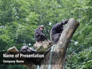Top chimpanzee family tree