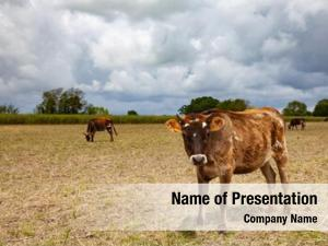Healthy cows field farm animals