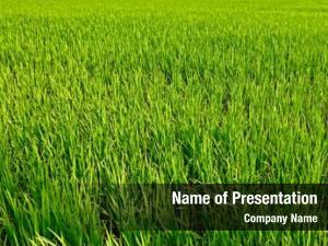 Close rice plant