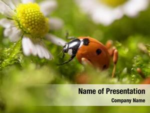 Flowers ladybird chamomile close up