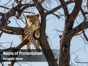 Leopard huge full sitting tree