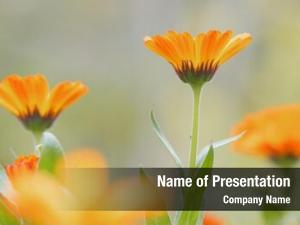 Flower orange daisy