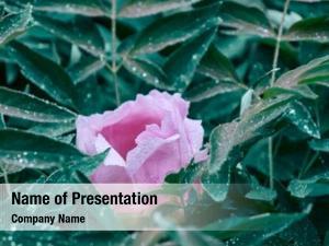 Pink green bush flower