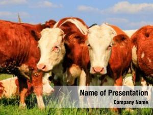 Cattle herd beef grazing pasture
