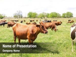 Farmstead grazing herd cattle