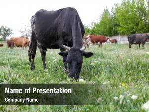 Landscape grazing herd cattle