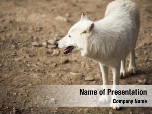 (canis arctic wolf lupus arctos)