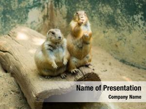 Zoo prairie dog