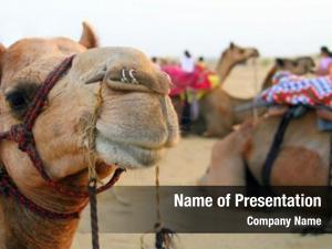 Camel camel decorated desert