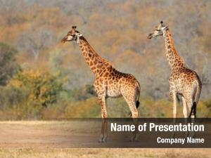 (giraffa two giraffes camelopardalis) african