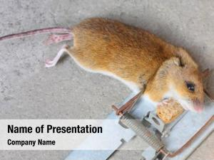 Cheese mouse her trap