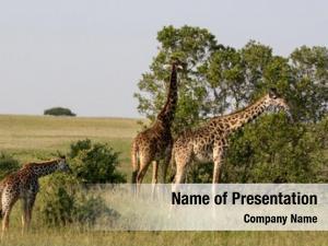 Mara giraffe maasai national park,