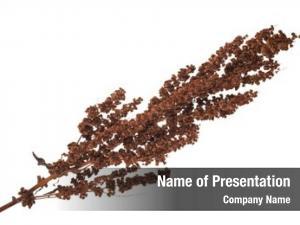 Confertus dry rumex plant