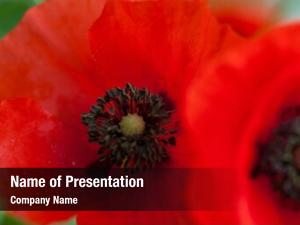 Remembrance wild poppies day, anzac