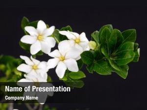 Jasminoides flower gardenia closeup
