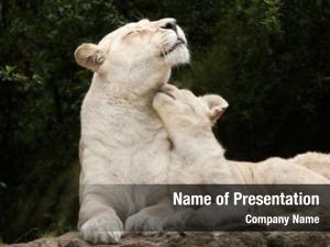 Lion female white two