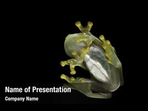 Glass transparent belly frog heart