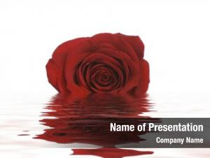 Rose single red lays shallow