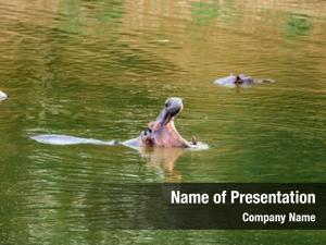 Yawns huge hippo water