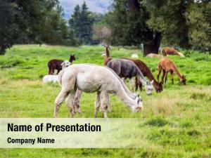 After herd lamas haircut grazed