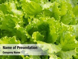 Lettuce fresh green