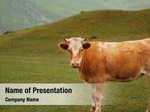 Field cow grazing