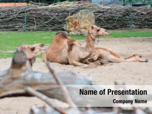 Single beautiful animal hump camel