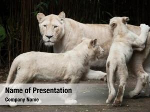 Are white lions colour mutation